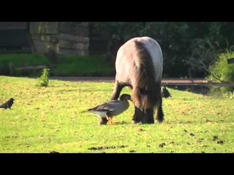Vroege Vogels - Gans verjaagt pony