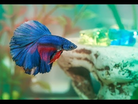 How Long Can Betta Fish Survive Without Food