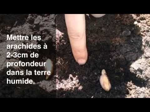 Faire pousser des arachides youtube - Comment pousse les kiwi ...