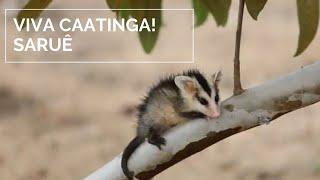 Viva Caatinga Sarue Youtube