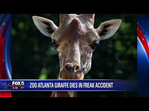 Zoo Atlanta giraffe dies in freak accident