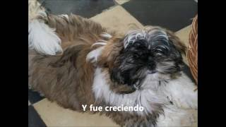 This Video Previously Contained A Copyrighted Audio Track. Due To A Claim By A Copyright Holder, The Audio Track Has Been Muted.     El Crecimiento De Hari Nuesto Shihtzu