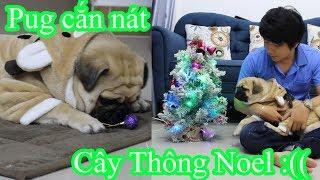 🌲Đừng Trang Trí Cây Thông Noel Nếu Nhà Bạn Nuôi Chó Pug =))⏩ Pugk Vlog