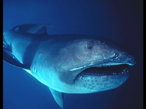 Facts: The Megamouth Shark