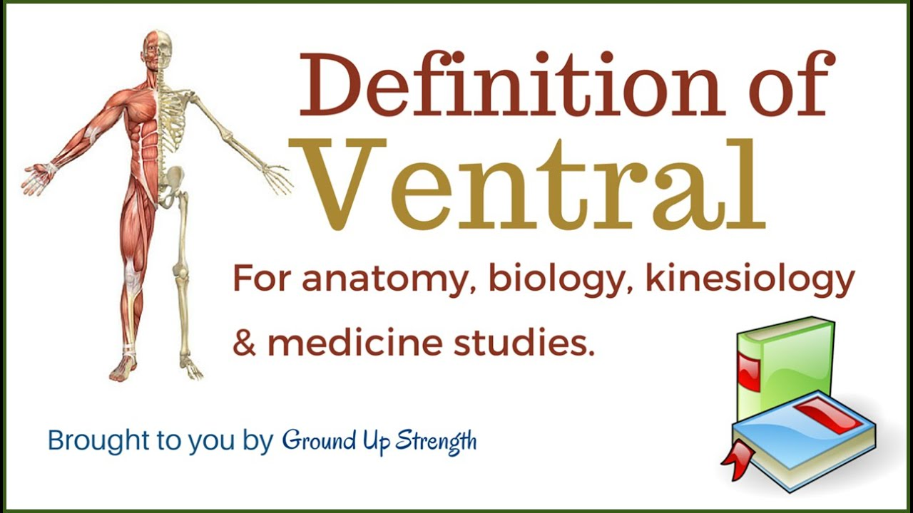 Ventral Definition (Anatomy, Biology, Kinesiology, Medicine) - YouTube