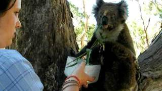 Repeat youtube video Koala and baby drinking