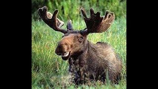 Fun Fact: Moose
