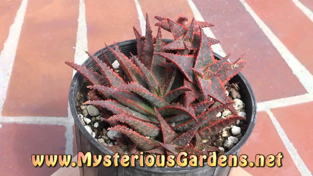 Aloe X 'Christmas Carol' (Griffin Hybrid) - Mysterious Gardens ...