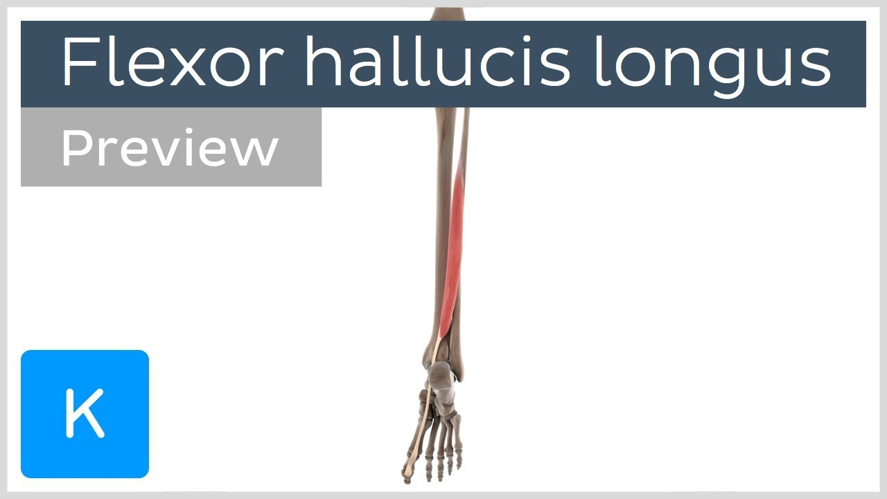 Functions Of The Flexor Hallucis Longus Muscle Preview 3d Human