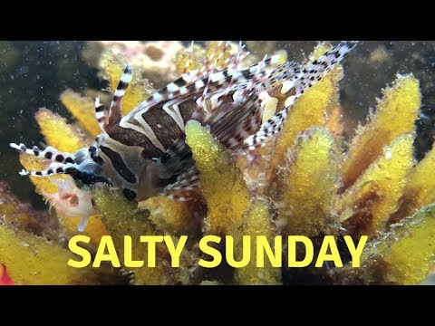 Dwarf Lionfish Addition To Our Saltwater Tank