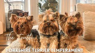 Yorkshire Terrier Temperament  Yorkshire Terrier Facts