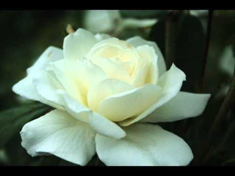 vår vitaste ros