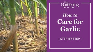How to Care for Garlic