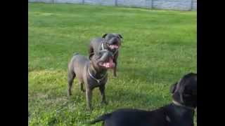 Blue Staffordshire Bull Terrier Play