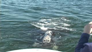 Right Whale Gunshot And Jello