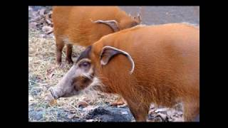 Пастбищные свиньи. Веселая фото - подборка