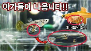 알이 아닌 새끼로 출산하는 물고기 구피(GUPPY)의 신비한 탄생순간 [TV생물도감]