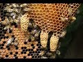 How To Splitting Hive With Queen Cell