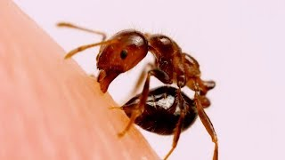 This is how ants sting