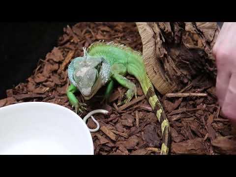 Water Dragon Eats lizard- Chinese water Dragon vs Lizard