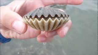 Scallop flipping over!