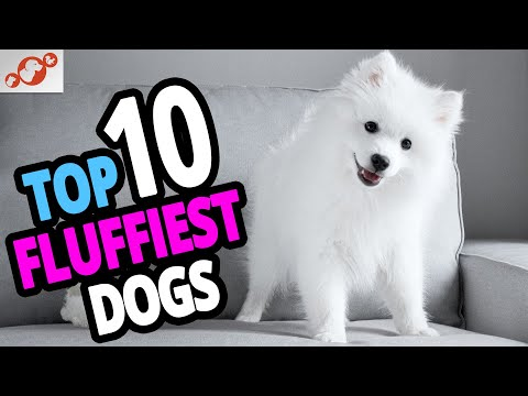 🐕 Fluffiest Dogs - Top 10 Fluffiest Dog Breeds In The World!