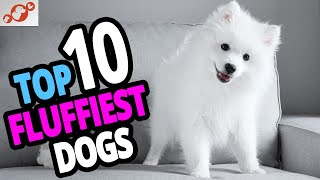 Fluffiest Dogs  Top 10 Fluffiest Dog Breeds In The World!