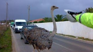Uma avestruz corre em Sintra pelo meio do transito. Para onde irá? Quem vai colocar a cabeça debaixo da areia? Veja o video na SALOIA TV, a Televisão da Região...