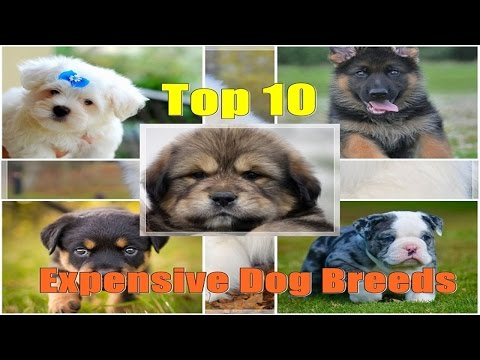 Top 10 Expensive Dog Breeds! 2017