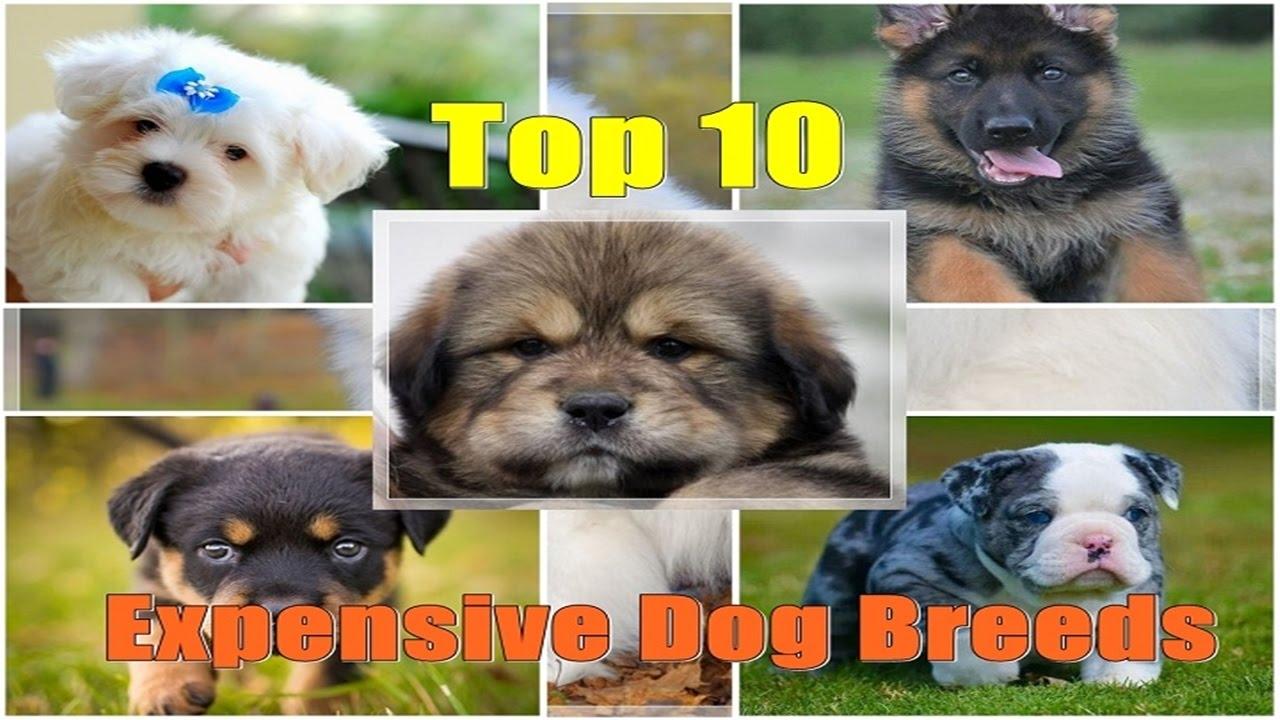 Top 10 Expensive Dog Breeds! 2017 | FunnyDog.TV