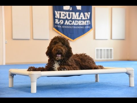 Sven (Standard Poodle) Boot Camp Dog Training Demonstration