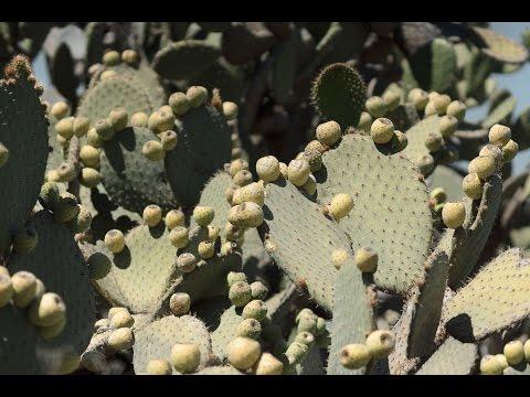 Съедобный кактус в Мексике
