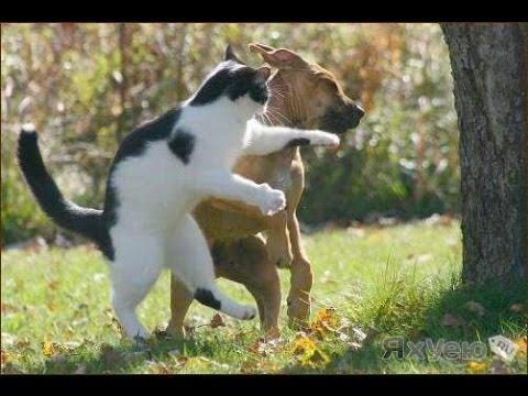Кот Владимира Кличка!!! Кот-боксер! Коты против собак(Cats LIVE)