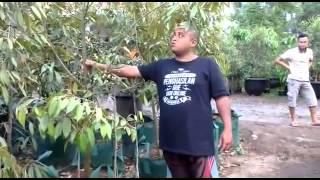 082.137.433.114 (Tsel) Bibit Durian Musang King Murah Bpk Faisal