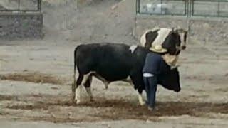 Thunder vs. Chalaco (21/12/13). Pelea de Toros en Socabaya (Arequipa)