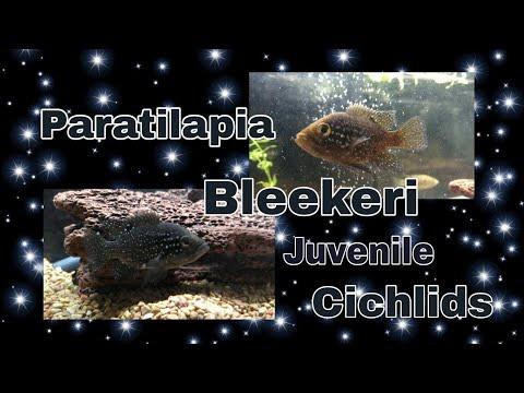 Paratilapia Bleekeri Maralambo Juveniles Madagascars Finest Cichlid.