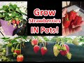 Growing Strawberries In Pots Or Containers!