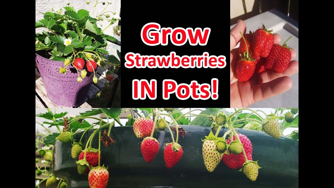 Growing Strawberries In Pots Or Containers Youtube