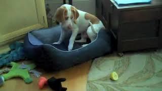 最も面白いペットの動画 レモンビーグル子犬対レモン:かわいい犬Maymo ...