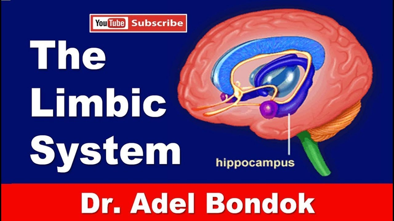 The Limbic System, Dr Adel Bondok - YouTube Limbic System Add