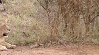 Lions du Swaziland