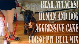 Bear Attack!: Human And Dog Aggressive Rottweiler/pit Bull Mix Part 1