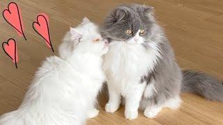 母猫が出産をしてから甘えただった性格が変わり、発情期で短気になってしまいました。その中で父猫との関係もあまりよくなく一方的に怒った...