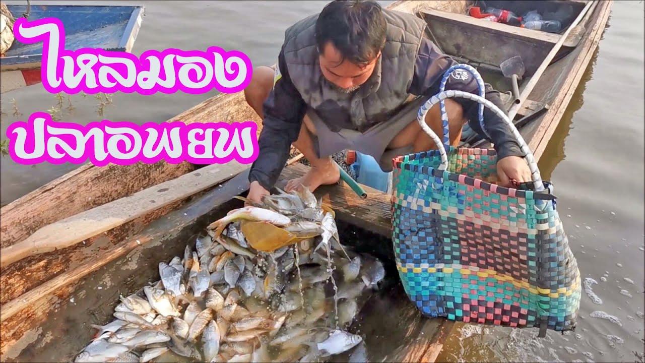 ไหลมอง จับฝูงปลาอพยพ net fishing in mekong river