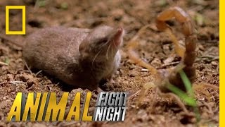 Psycho Shrew vs. Scorpion | Animal Fight Night