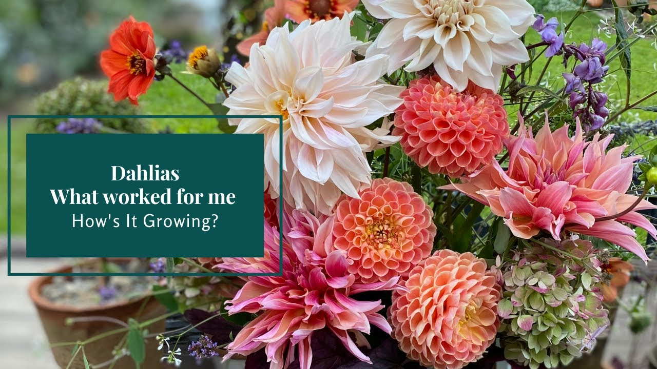 Dahlias, What worked for me! 🤔🌸 How's It Growing?
