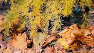 Осень (опавшие листья клена и желтая лиственница) | Футажи Красивая природа [FullHD]