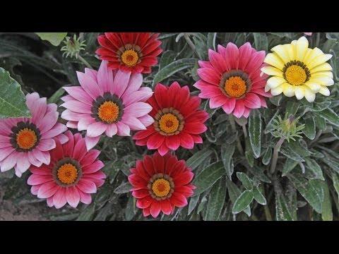 Gazania sp. - Mittagsgold, Treasure Flower