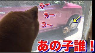 柴犬ハナ 野良猫さん登場でウーウー大興奮 猫クロも気になり・・・ -- Shiba and cat are interested in stray cat
