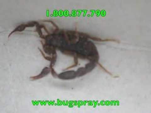 Scorpion alive and close up